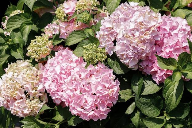 ピンクのアジサイの花明るい夏の背景