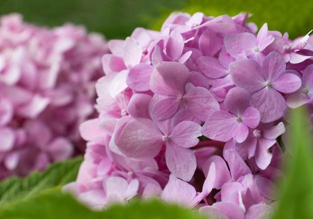 핑크 수국 꽃 클로즈업입니다. 꽃 배경, 자연 배경입니다. 원예, 식물 재배, 화초 재배, 가정 농업의 개념. 바탕 화면의 아름다운 배경, 소프트 포커스, 흐림