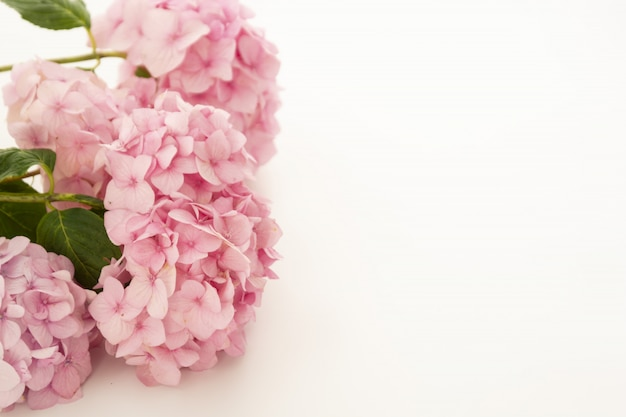 Pink hydrangea frame, flowers on white background