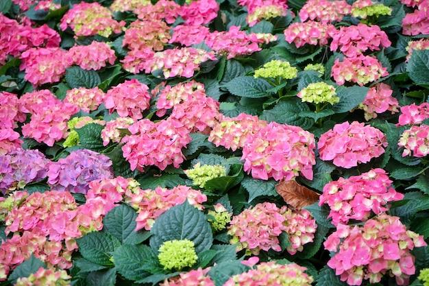 Розовые цветы гортензии в саду