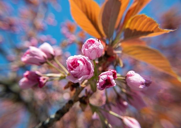 Розовый цветок японской вишни. сакура. ветка сакуры на фоне красивой мягкой природы