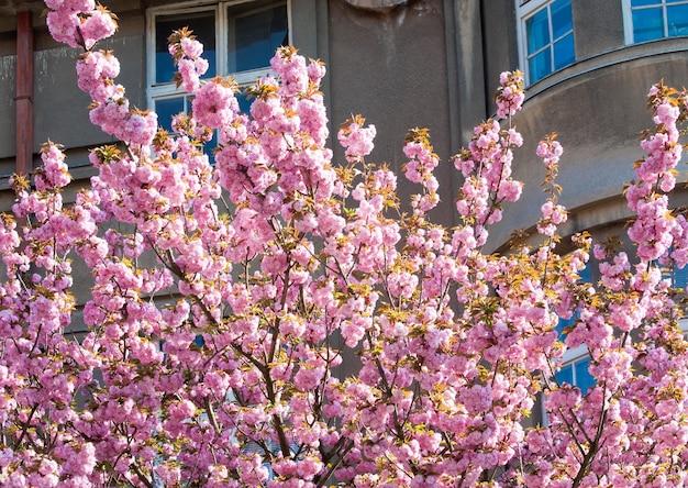ピンクの日本の桜の小枝の花(ウクライナ、ウジゴロド市)