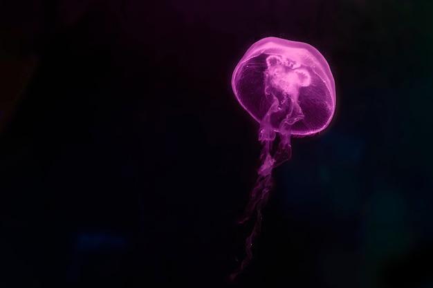 수족관의 어두운 물에서 핑크 해파리