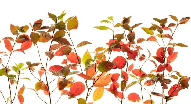 Розовые листья кустарника бересклета на ветке осенью, изолированные на белом фоне.