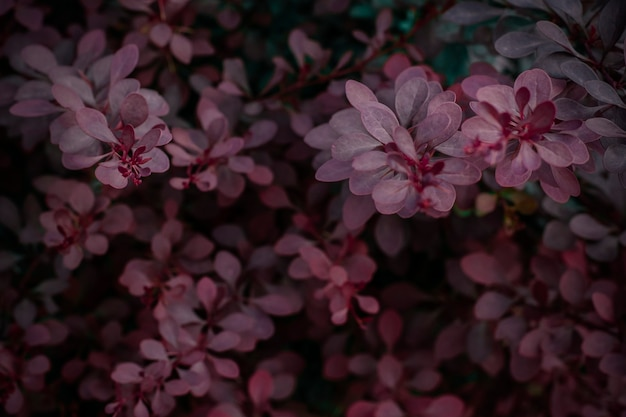 Pink leaves of a plant on a dark light