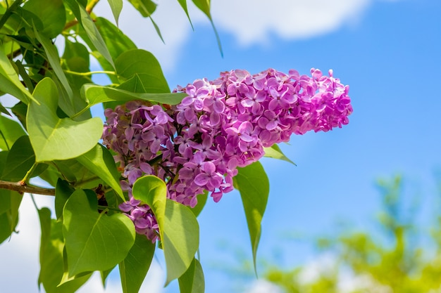 Pink lilac flowers on a of blue sky in sunny weather