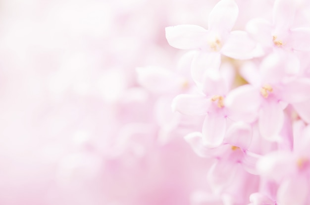 Pink lilac flowers spring blossom background.