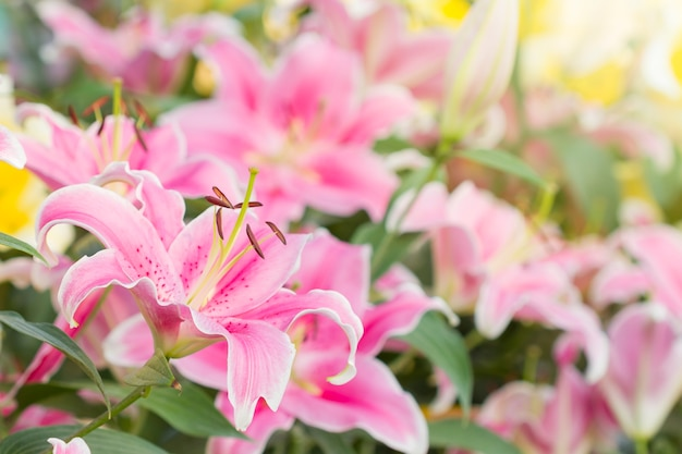 Pink lilies in the garden