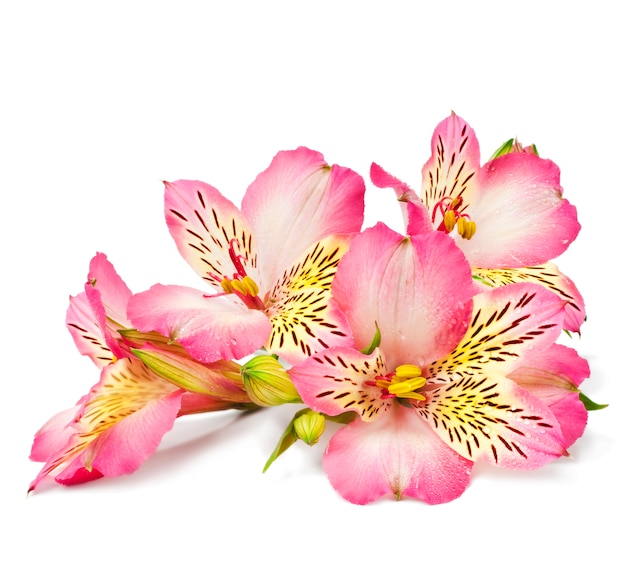 Pink lilies on a white surface