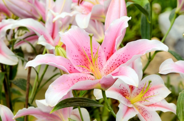 Pink lily in botanical garden.
