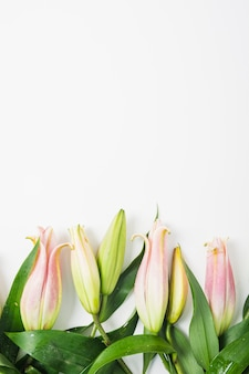 Pink lily flower buds on white background