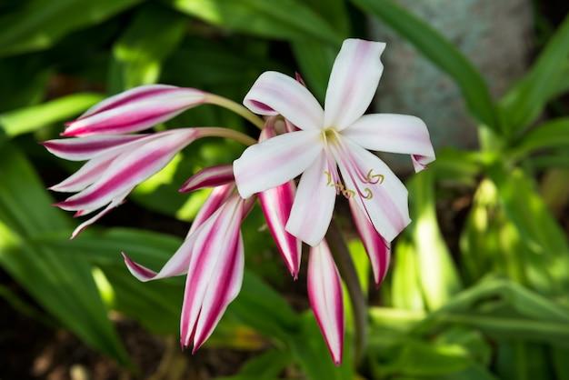 핑크 백합 꽃 근접 촬영보기입니다. 녹색 잎