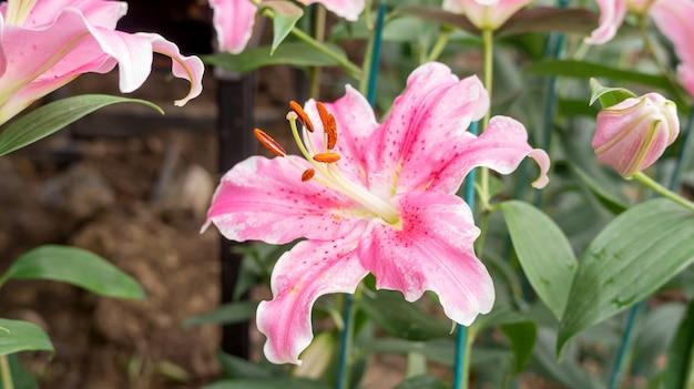 Pink lily flower in a garden.