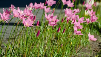 Pink Lily flower, Purple, pink, red, cosmos flowers in the garden with blur background