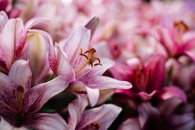 Розовая лилия цветет на клумбе в загородном саду