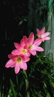 自然な背景をぼかした写真とピンクのユリの花