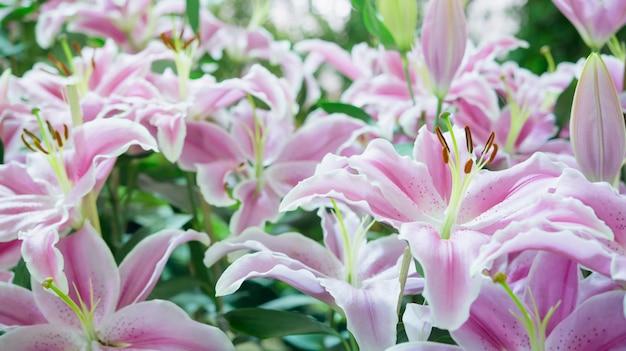 庭にピンクのユリ、ユリの花、ユリオリエンタルジョープ。
