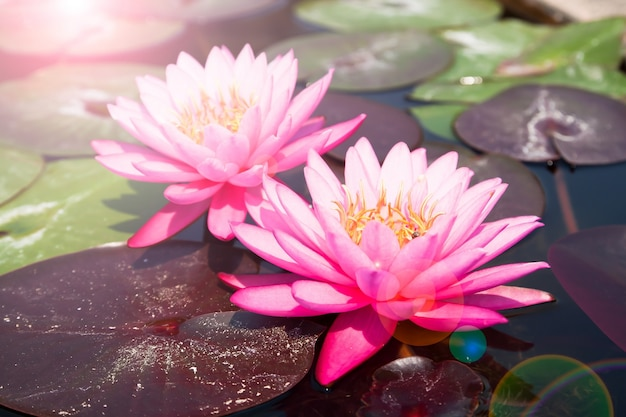 Loto rosa, bello waterlily con luce solare e flare