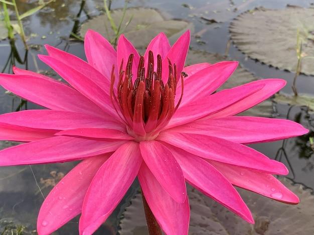 아침에 핑크 연꽃