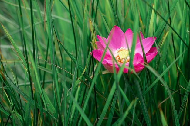 Pink lotus bloom in lotus pond