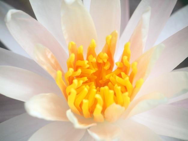 Pink lotus blossoms