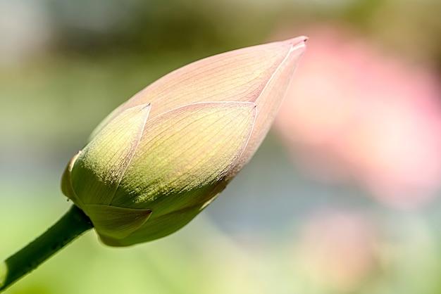 Pink lotus bud in summer. tropical water flower.