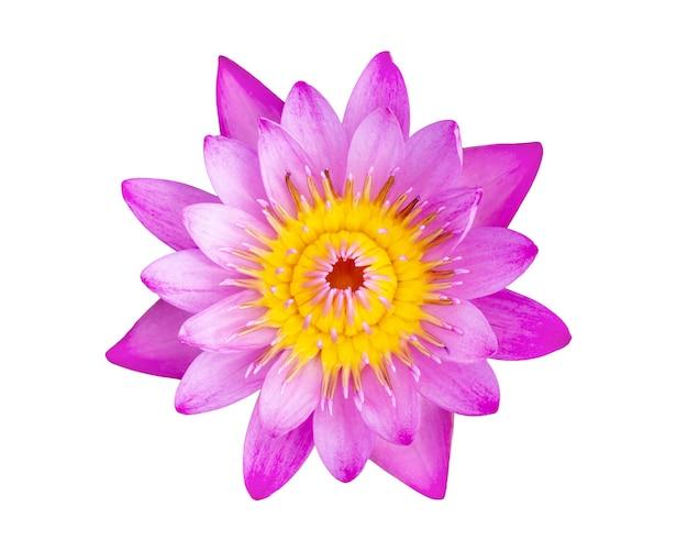 ピンクの蓮の花美しい蓮が白で隔離