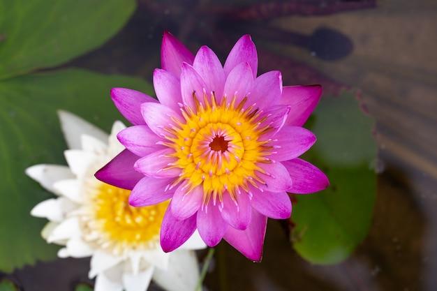 ピンクの蓮の花の美しい蓮