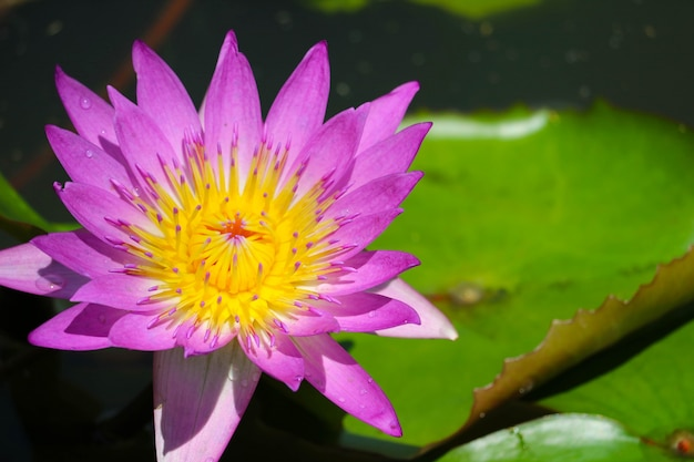 Pink lotus flower full blooming in pond and blur pad on water background