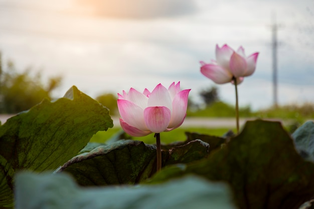 Pink lotus flower and green leaves