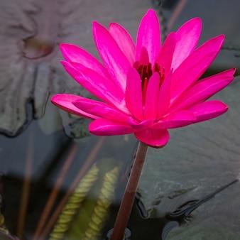 연못에 핑크 연꽃