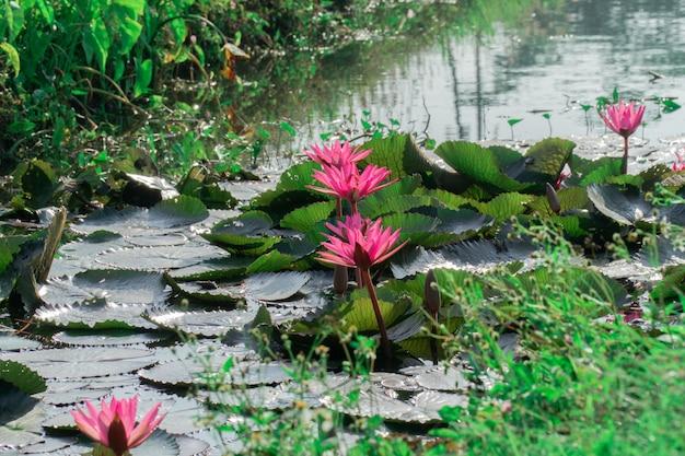 Розовый цветок лотоса в пруде лотоса, водный путь около огорода.