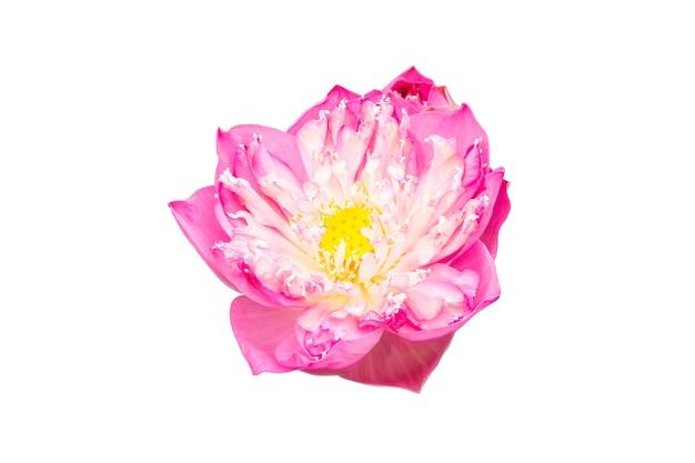 白い背景で隔離のピンクの蓮の花
