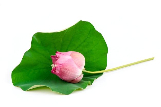 Розовый цветок лотоса на зеленом листе лотоса, изолированные на белом фоне