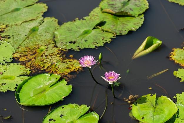 農場の緑の葉にピンクの蓮の花