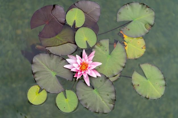 ピンクの蓮の花または睡蓮とその水面の緑の葉