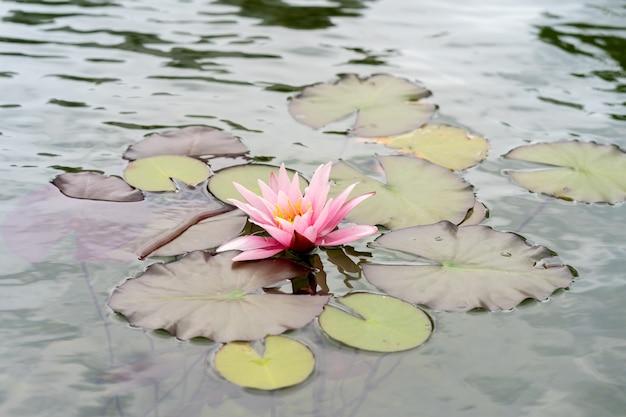 ピンクの蓮の花または睡蓮とその水面の緑の葉 Premium写真