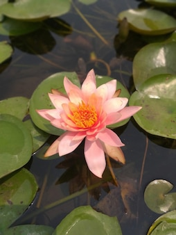 Pink lotus flower on water, selective focus background blur
