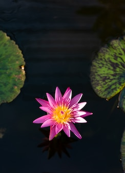 Pink lotus flower or waterlily on pond with dark background