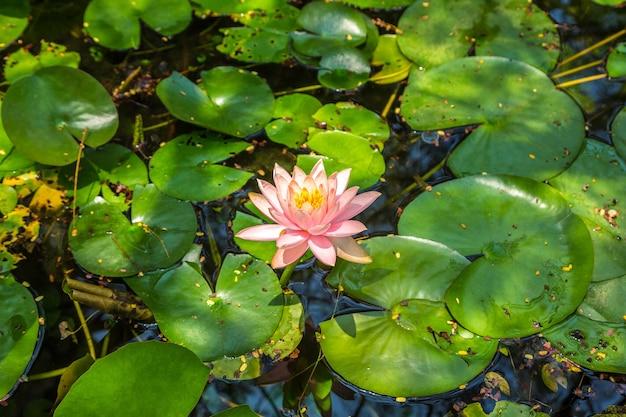 池の緑の葉とピンクの蓮の花 Premium写真