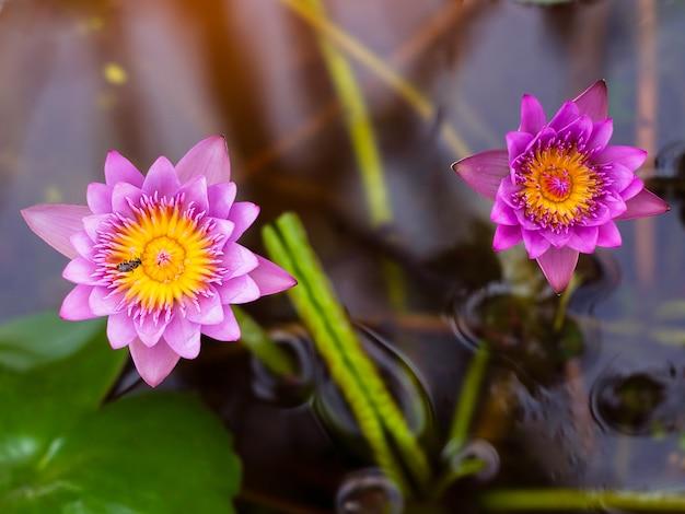 Pink lotus flower with honey bee collecting pollen in summer