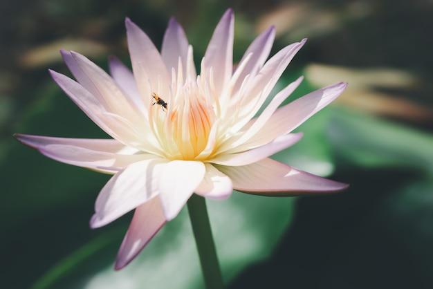Розовый цветок лотоса
