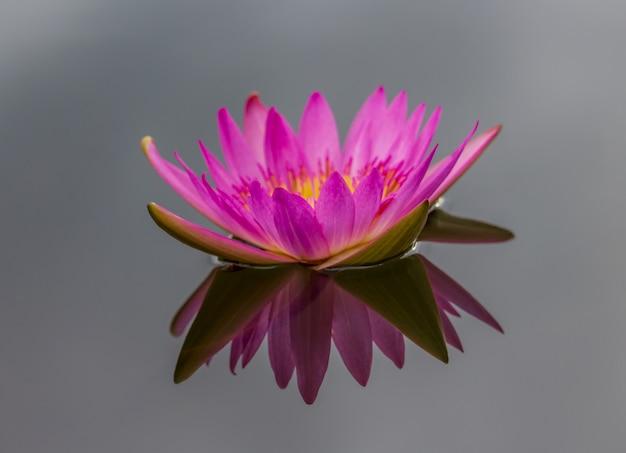 Pink lotus flowers bloom beautifully
