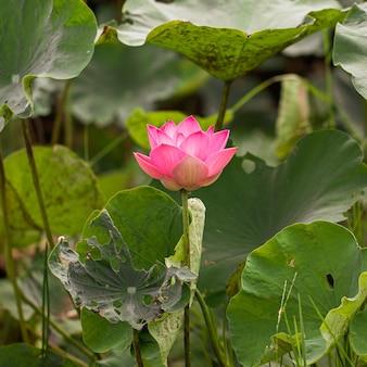 湖のほとりに咲くピンクの蓮の花がクローズアップ