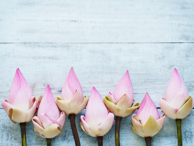 Pink lotus flowers on blue wooden table.
