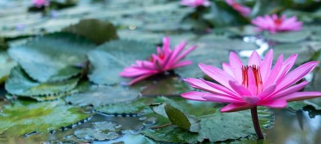 池の背景にピンクの蓮の花