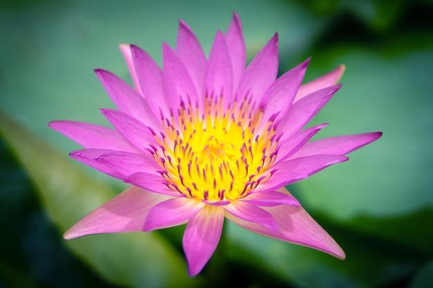 農業用蓮池のピンクの蓮の花