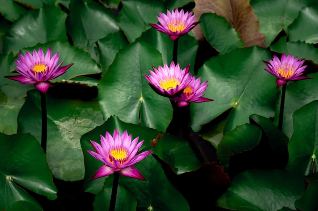 Pink lotus flowers in the lotus pond for agriculture