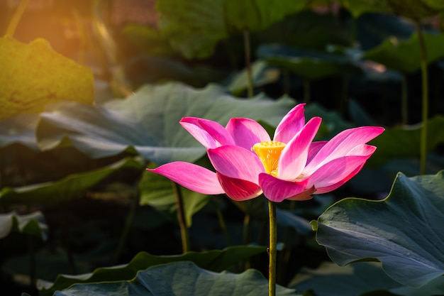 Pink lotus and green leaf in the pond