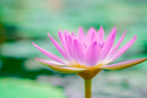Розовый лотос в красиво цветущем пруду по утрам